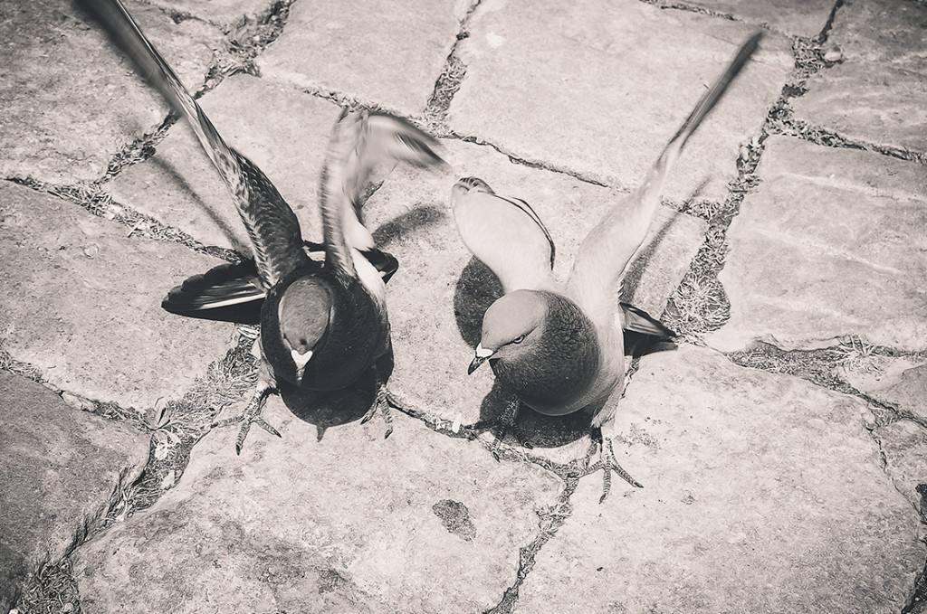 pigeons-decadre